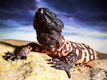 Gila monster header image